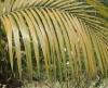 Deckenia nobilis H.Wendl. ex Seem