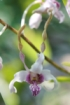 Dendrobium antennatum. Orchidée antilope.
