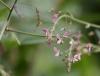 Fleurs et fruits Desmodium tortuosum.