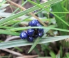 Dianella ensifolia (L.) DC Dianelle ensifoliée