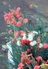 Dianthus caryophyllus L, Œillet commun