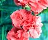 Dianthus caryophyllus L