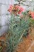 Dianthus caryophyllus L.
