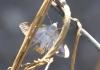 Pyrale du concombre. Diaphania indica.