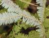 Dicranopteris linearis (Burm. f.) Underw.