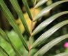 Dictyosperma album var. aureum Balf.f