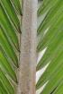 Dictyosperma album var. conjugatum