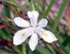 Fleur Dietes grandiflora.