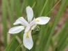 Grand Iris sauvage. Dietes grandiflora.