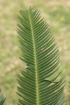 Dioon edule Lindl.
