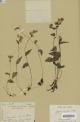 Disperis discifera H. Perrier