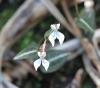 Disperis tripetaloides (Thouars) Lindl, orchidée de La Réunion.
