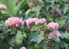 Dombeya acutangula subsp. Rosea.