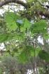 Dombeya ciliata Cordem.