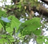 Dombeya ciliata Cordem