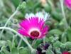 Fleur Dorotheanthus bellidiformis.