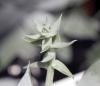 Dudleya brittonii. Cactus plante succulente.
