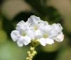 Duranta serratifolia (Griseb.) Kuntze