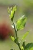Duranta serratifolia (Griseb.) Kuntze.