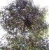 Durian. Durio zibethinus L.
