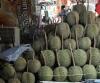 Durio zibethinus L Durian
