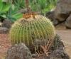 Echinocactus grusonii (Hildmann 1891).