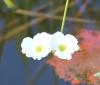Echinodorus grisebachii Small