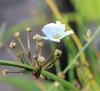 Echinodorus grisebachii Small.
