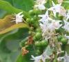 Ehretia cymosa Thonn Bois malgache