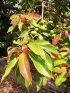 Elaeocarpus serratus L