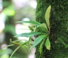 Elaphoglossum heterolepis (Fée) T. Moore.