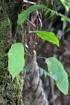 Elaphoglossum hybridum (Bory) Brack. var. hybridum.