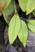 Elaphoglossum hybridum (Bory) Brack. var. vulcani (Lepervanche ex Fée) Christ.