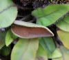 Elaphoglossum hybridum (Bory) Brack. var. vulcani (Lepervanche ex Fée) Christ