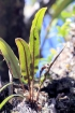 Elaphoglossum splendens (Bory ex Willd.) Brack.