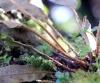 Elaphoglossum splendens (Bory ex Willd.) Brack