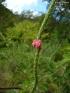 Stachytarpheta mutabilis, Épi rose, Bois de chenilles rouge