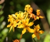 Epidendrum L