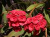 Epine du Christ, couronne d'épines ou plante du Christ. Euphorbia milii