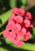 Fleurs Euphorbia milii