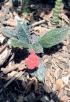 Episcia cupreata (Hook.) Hanst.