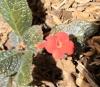 Episcia cupreata (Hook.) Hanst