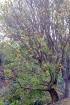 Erythrina corallodendrum L. Arbre Corail.