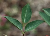 Feuilles Erythrina crista-galli L.