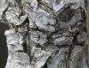 Ecorce Erythrina crista-galli L.