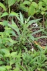 étoile de Bethléem ou Lastron blanc. Hippobroma longiflora