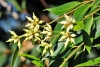 Eucalyptus robusta Sm. Inflorescence.