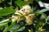 Eucalyptus robusta Sm