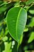 Eucalyptus robusta Sm. Feuille.