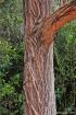 Eucalyptus robusta Sm. Tronc.